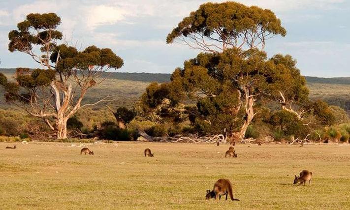 Du-lịch-Úc-Dao-kangaroo-711-472