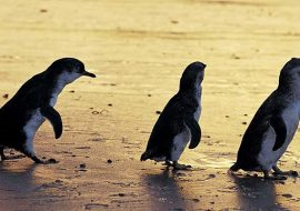 penguins-phillip-island-nature-park_pi_r_1052997_850x400