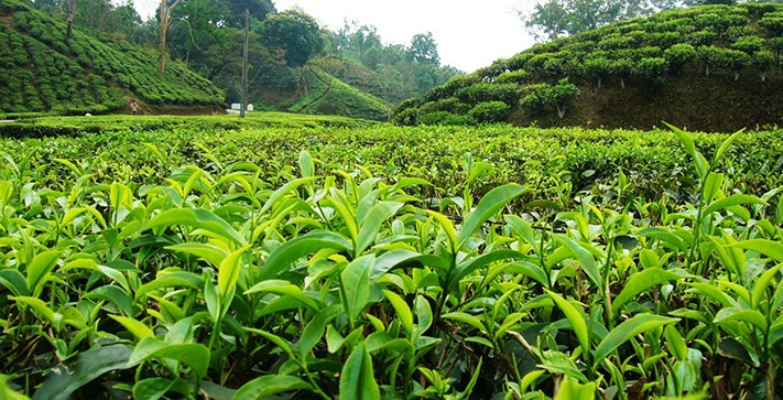 du-lịch-bangladesh-Sylhet-garden-tea-711