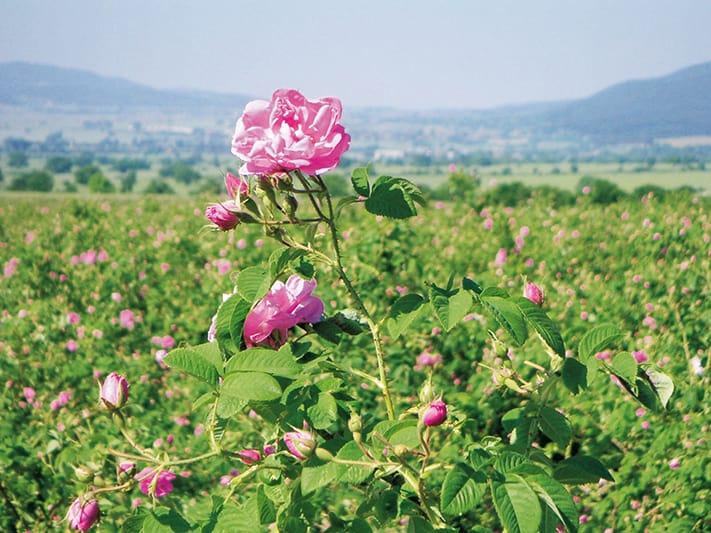 du-lịch-bulgaria-rose-field-in-bulgaria_press-711
