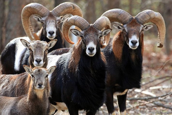 visa-du-lịch-síp-Images-Of-Cypriot-Mouflon
