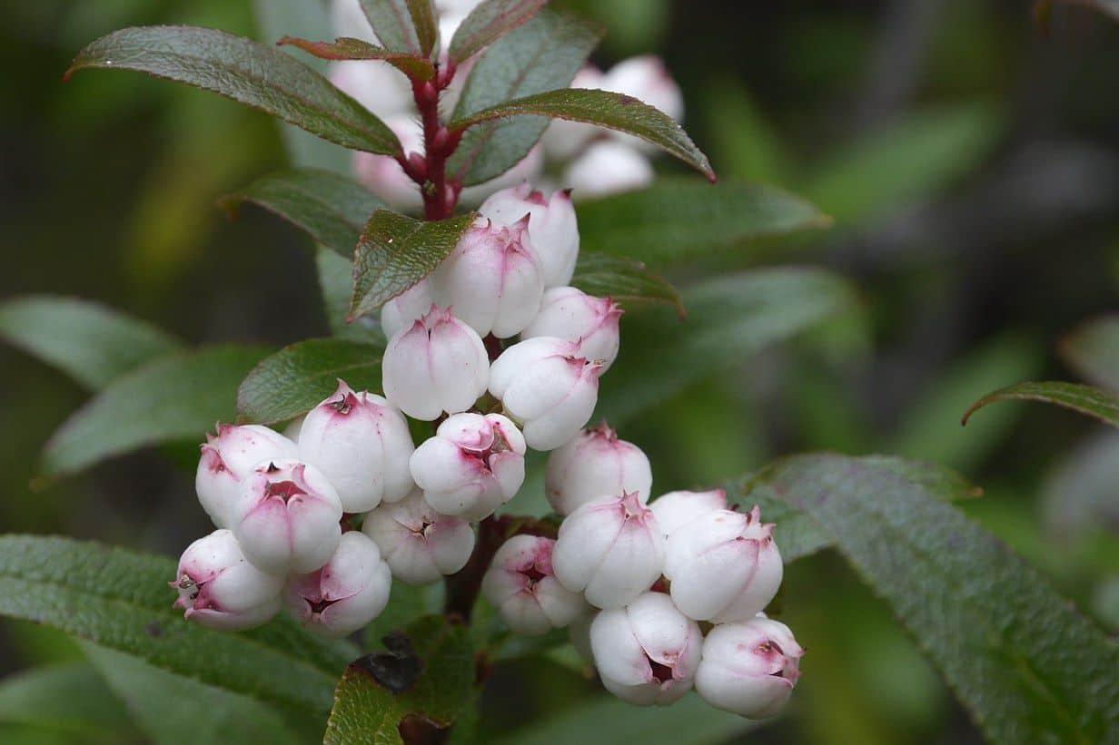 dac-san-nuoc-uc-snowberry2